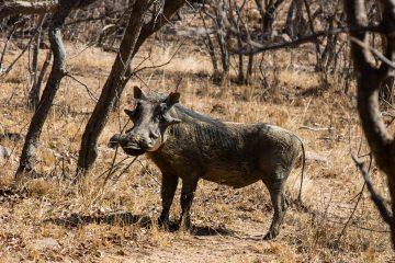 Direkt vor der Haustier: Warthog (Warzenschwein)
