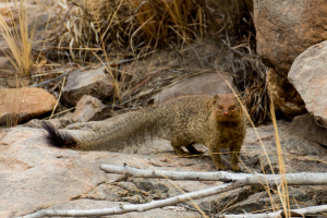Large Grey Mongoose