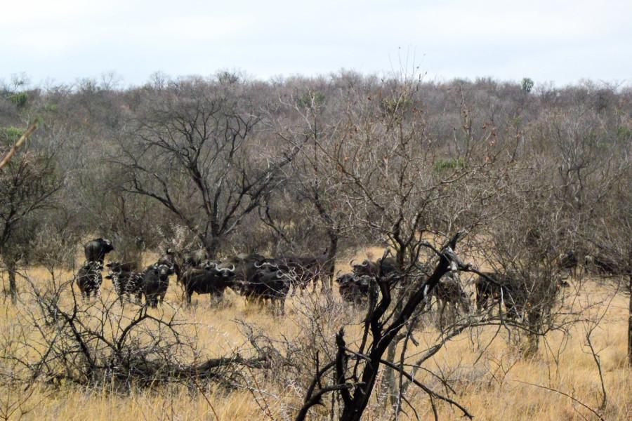 Büffel - beim Reiten gesehen