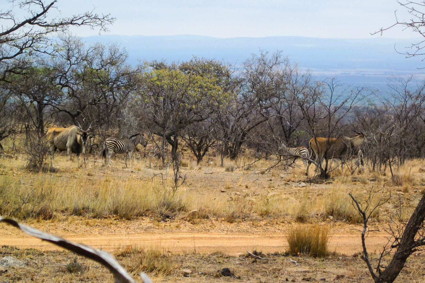 Eland und Zebras