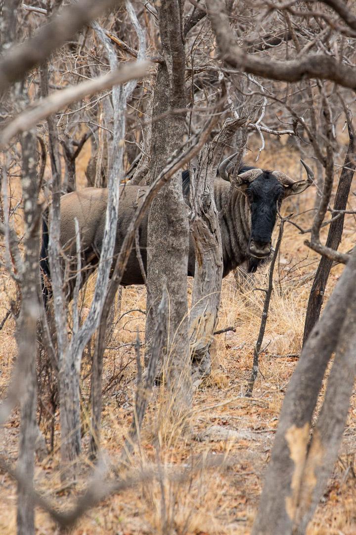 Wildebeest = Gnu (m ;-)