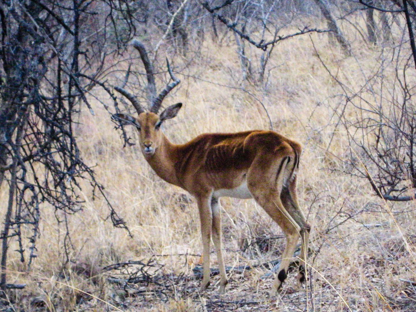 Impala (m)