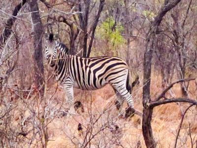 Zebra-Männchen passt auf