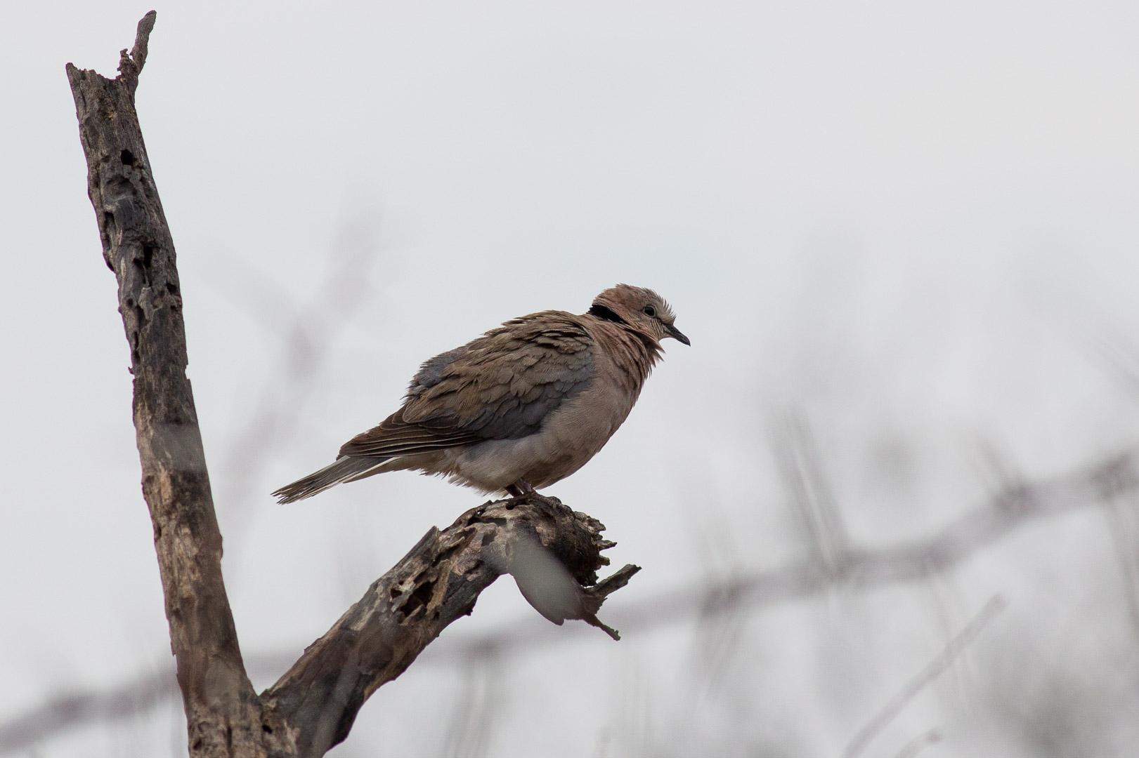 Turtle Dove (Turteltaube)