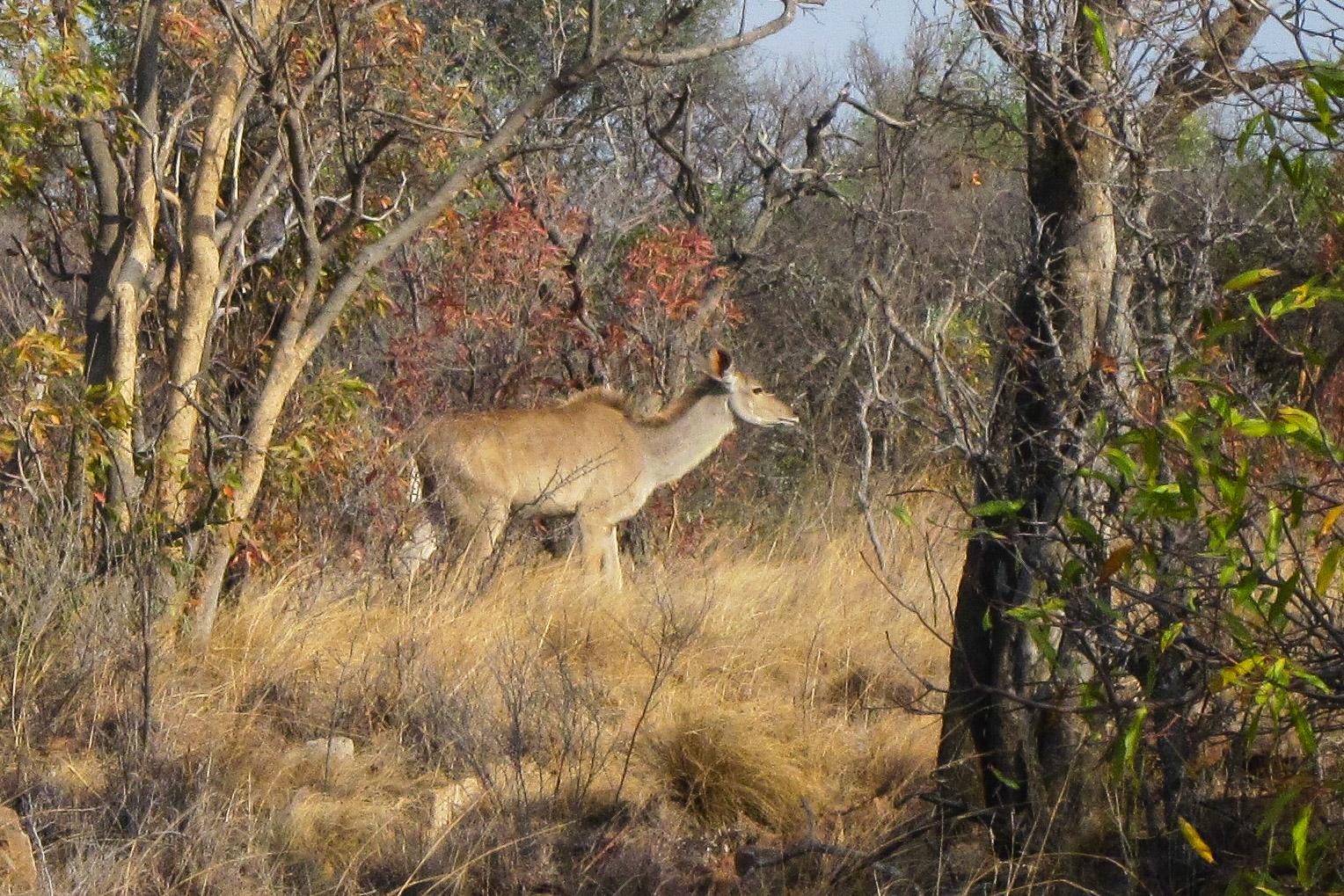 Kudu (w)