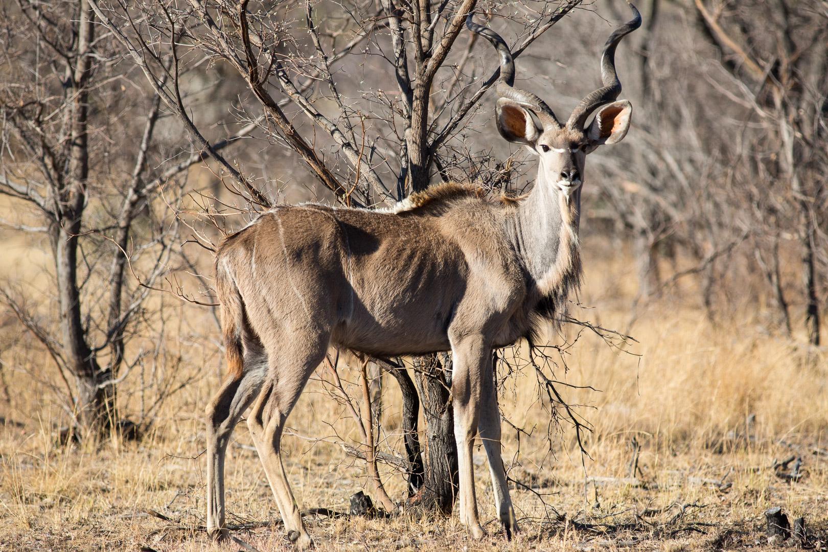 Kudu (m)