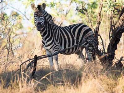 Zebramännchen