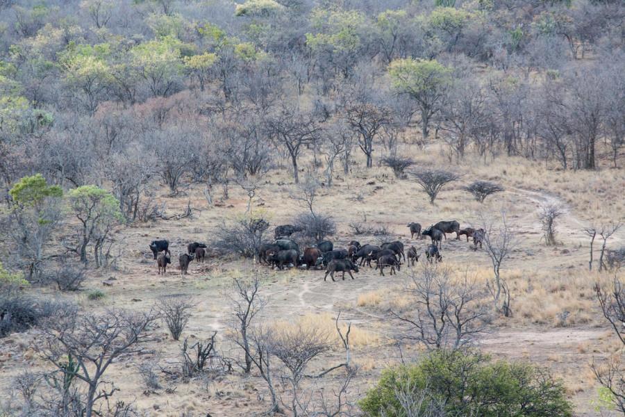 Ant's Hill - Büffel in der Ebene