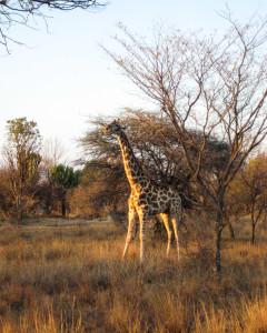 Giraffe in der Abendsonne