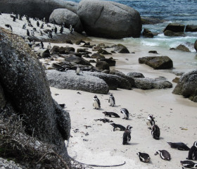 29.10. Pinguine am Boulders Beach