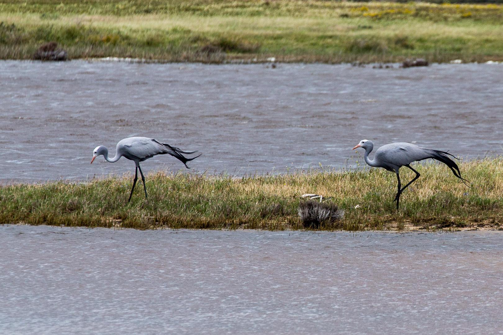 31.10. Cape Agulhas National Park. Paradieskraniche.