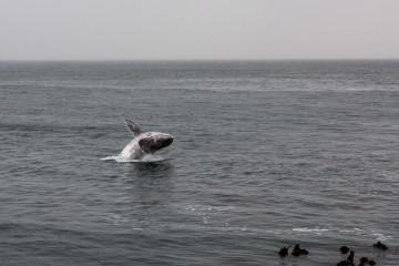 31.10. Hermanus. Wale :-)  (Südkaper)