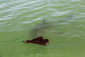 1.11. Weiße Haie !