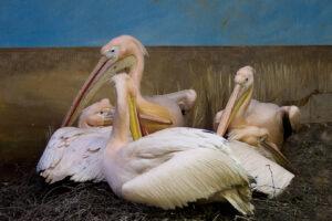3.1.2010 - Hagenbeck Tierpark: Pelikane