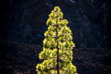 14.11.2014 Corona Forestal, Teide