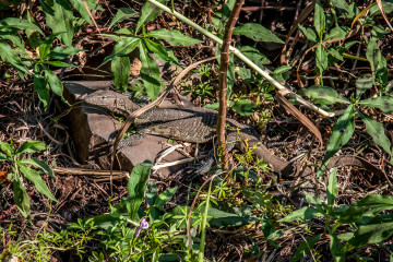 13.-15.7. Maramba River Lodge, Water Monitor Lizard