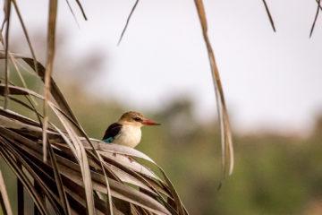 13.-15.7. Maramba River Lodge - Kingfisher
