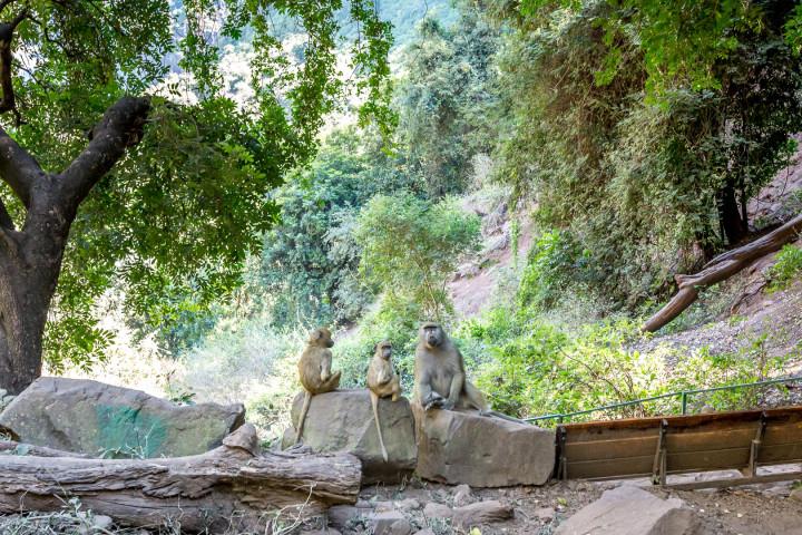 "14.7. Victoria Falls, Wanderung in den ""Boiling Pot"" - Baboon"