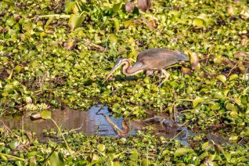 13.-15.7. Maramba River Lodge - Purple Heron