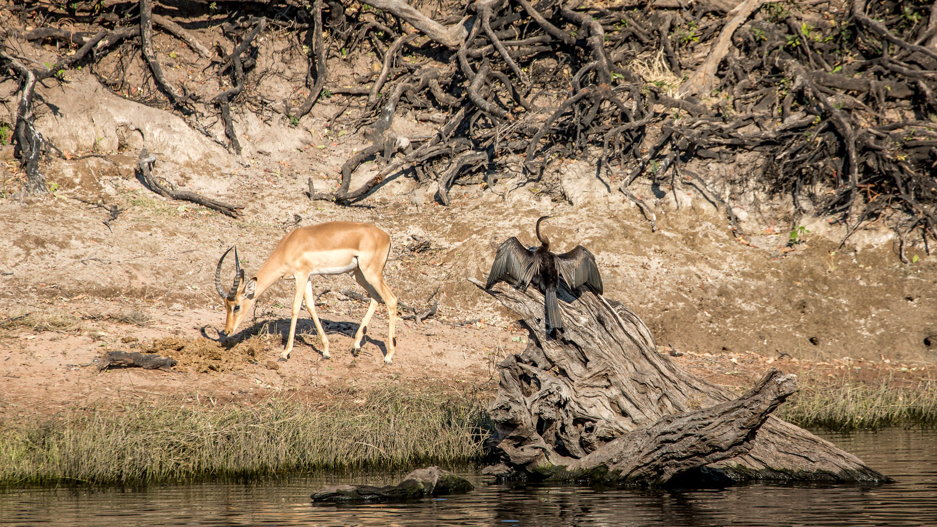 16.7. Chobe River Sunset Tour - Impala; Schlangenhalsvogel