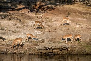 16.7. Chobe River Sunset Tour - Impalas