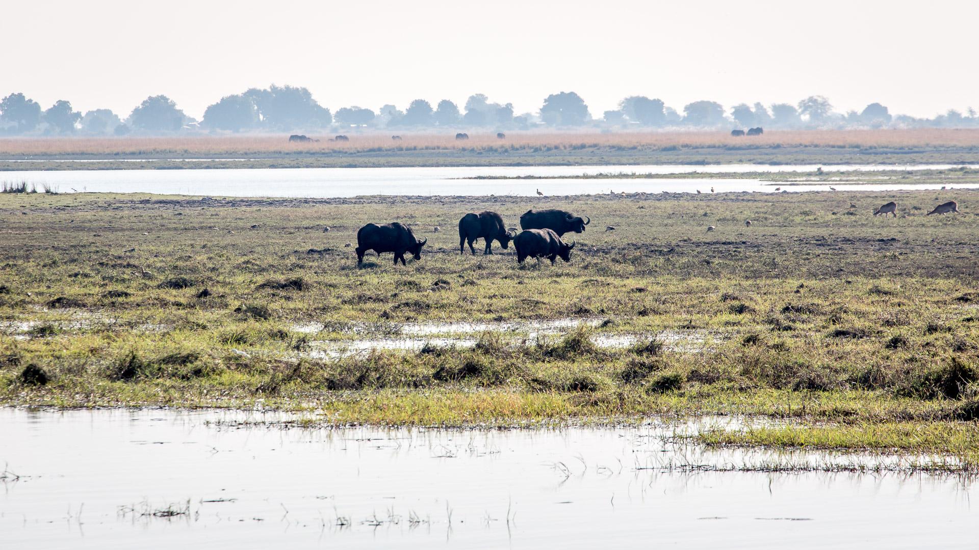 16.7. Chobe River Sunset Tour - Büffel