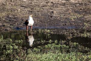 16.7. Chobe River Sunset Tour - Fischadler