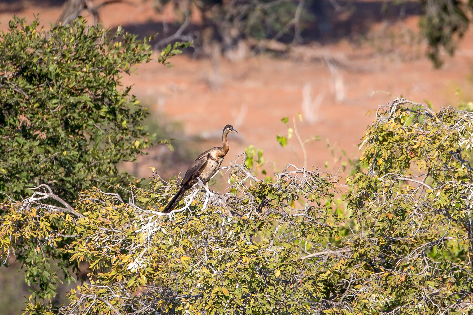 16.7. Chobe River Sunset Tour - Schlangenhalsvogel