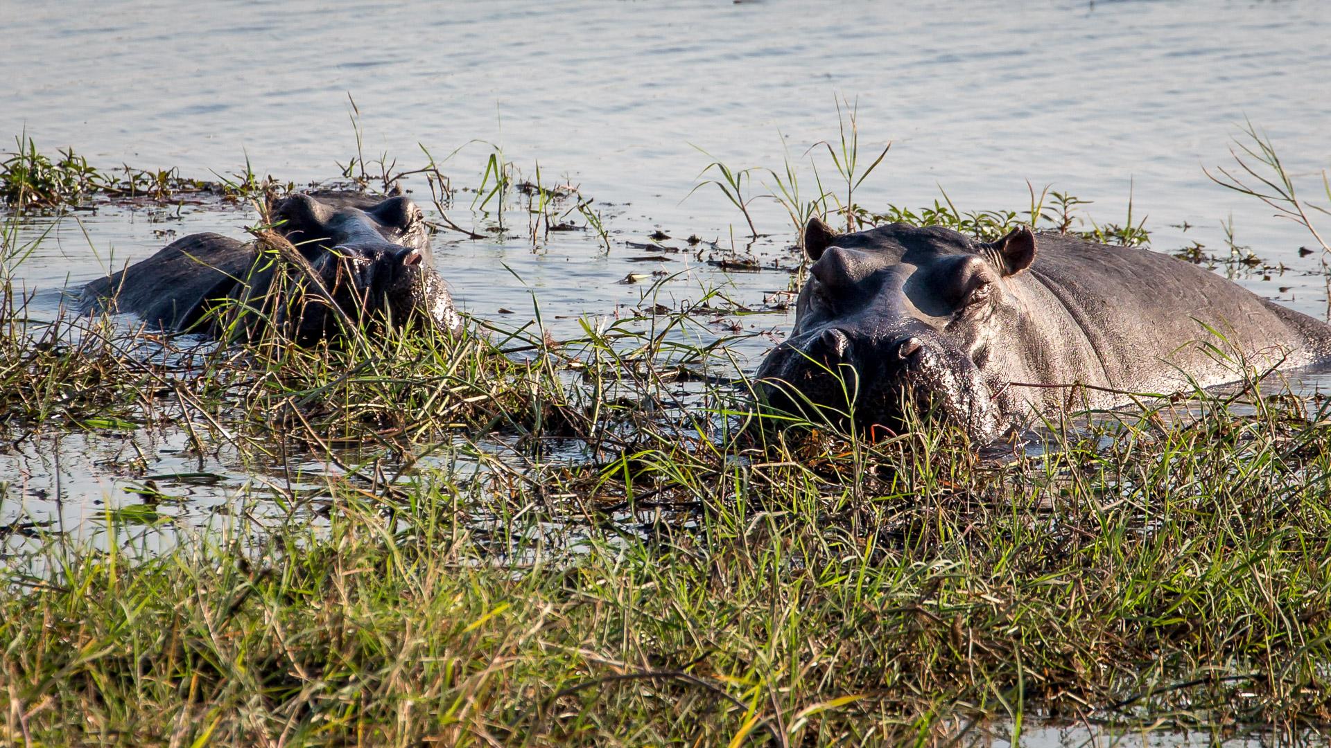 16.7. Chobe River Sunset Tour - Hippos