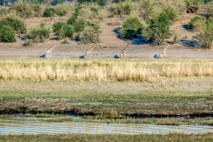 16.7. Chobe River Sunset Tour - Giraffen