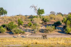 16.7. Chobe River Sunset Tour - Elefant mit Giraffen
