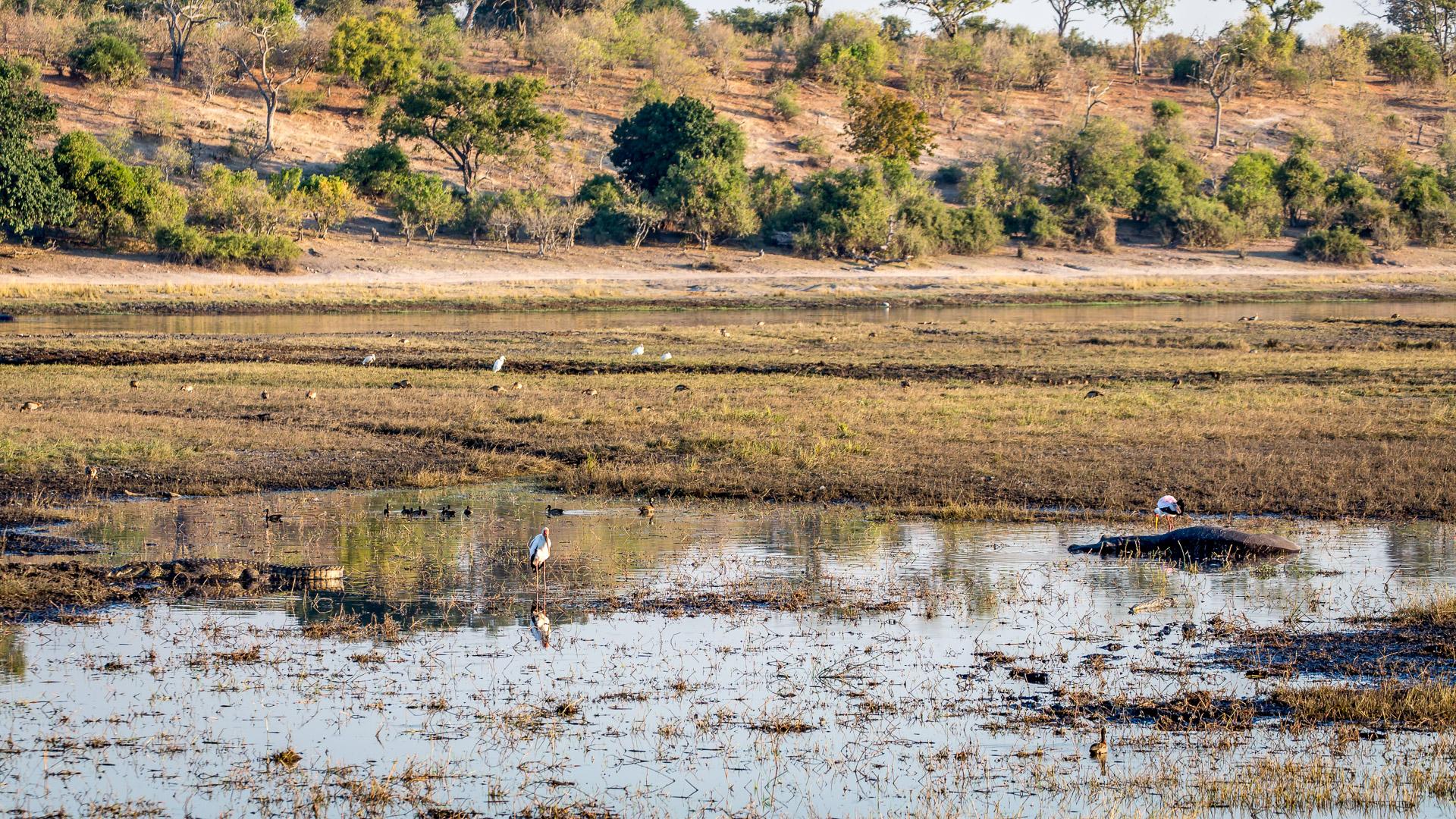 Hippo, Krokodil, Storch, Marabu einträchtig beisammen.