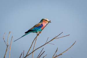 17./18.7. Chobe NP, River Drive nach Ihaha - Lilac-breasted Roller