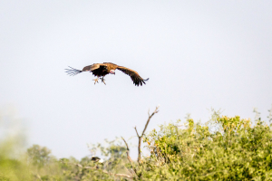 17./18.7. Chobe NP, River Drive nach Ihaha - Geier (lapped-faced vulture)