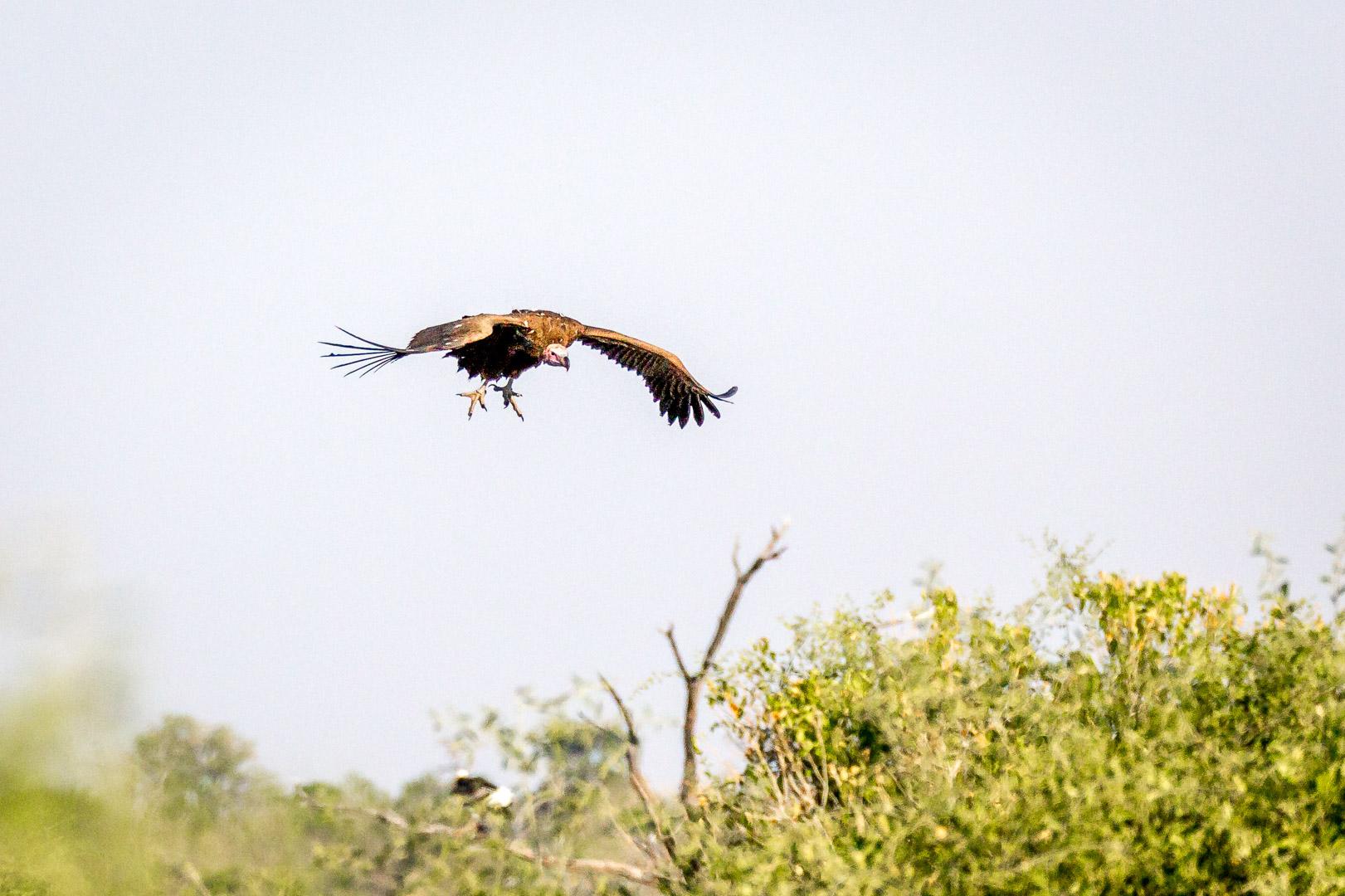 17./18.7. Chobe NP, River Drive nach Ihaha - Geier (lapped-faced vulture)
