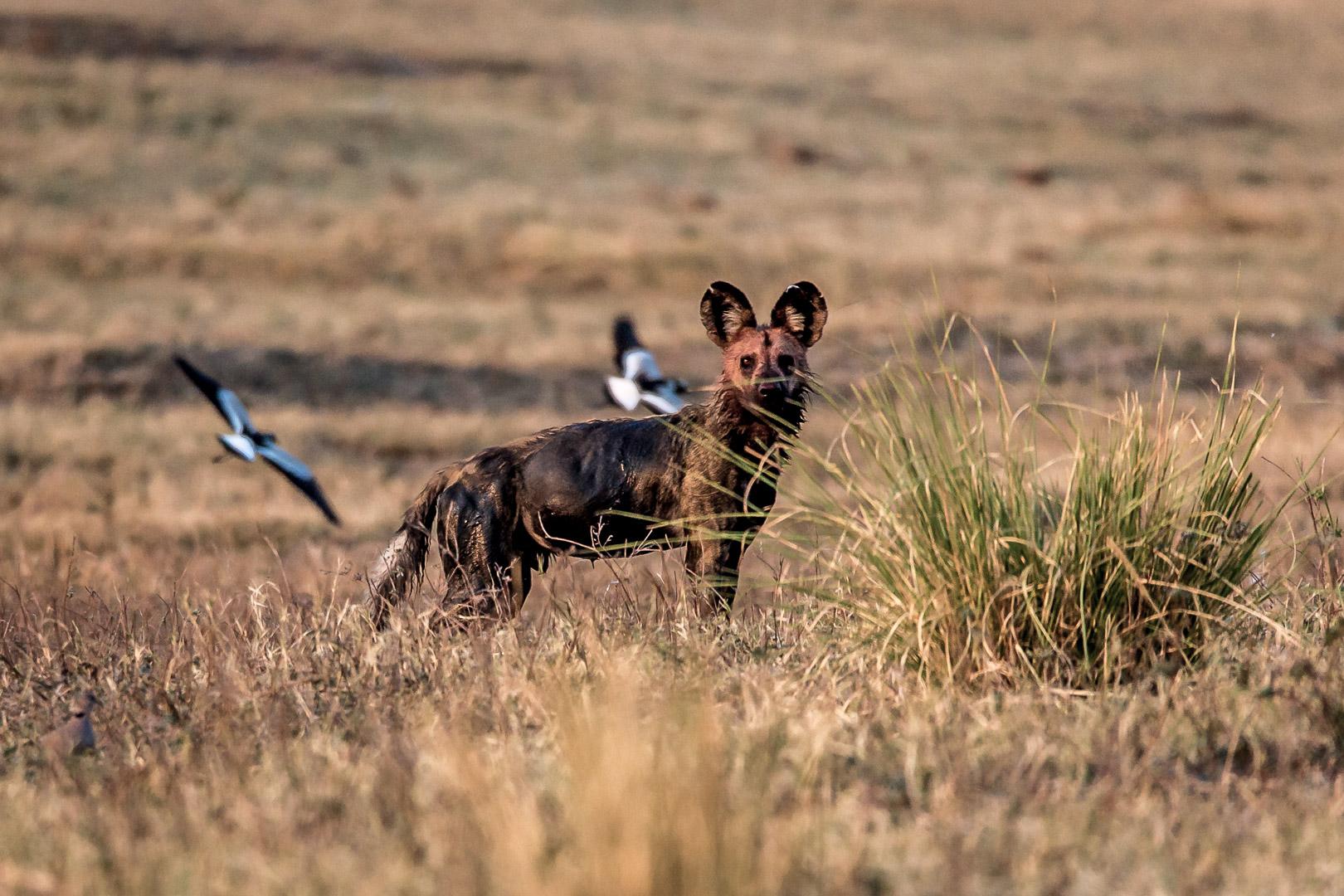 17./18.7. Chobe NP, Wild Dog