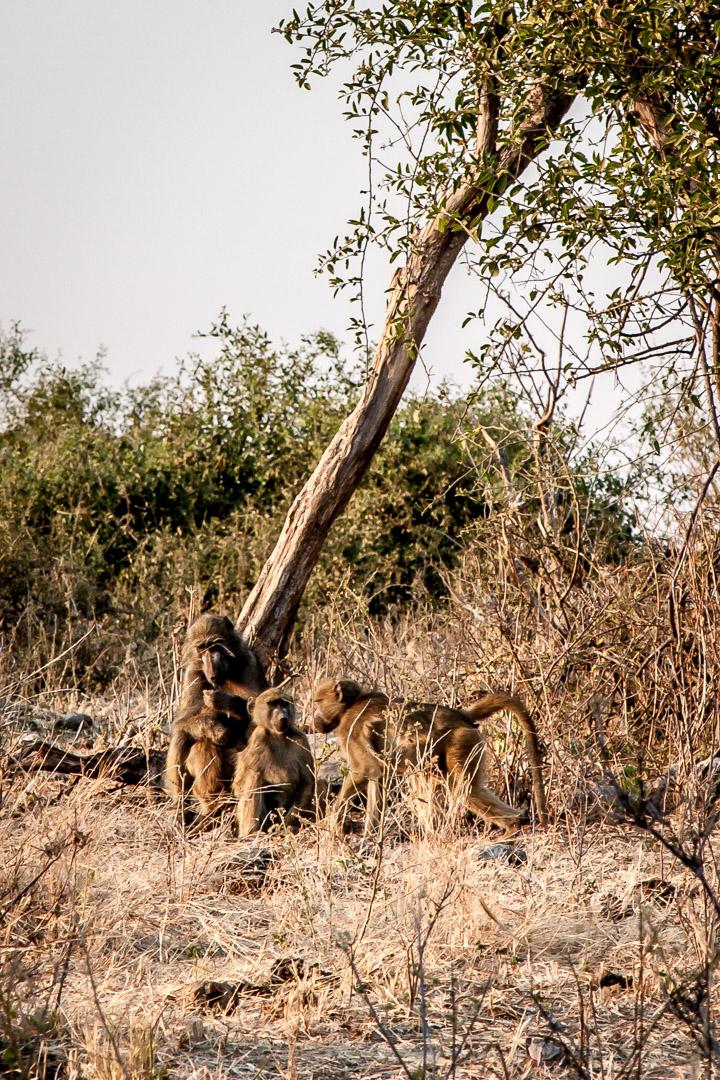 17./18.7. Chobe NP, Ihaha Camp - Baboons