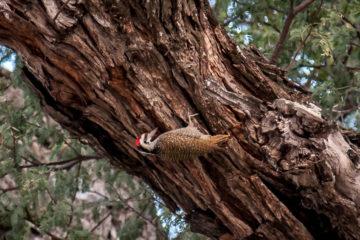 19./20.7. Bwabwata NP, Nambwa Camp - Bennet's Woodpecker