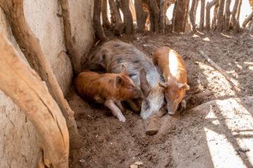 21.7. Village Visit - Hausschweine