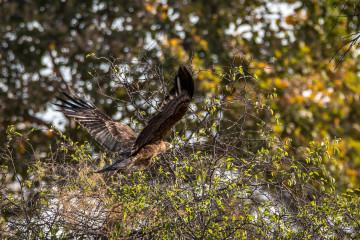 24.7. Mangetti NP - Brown Snake Eagle