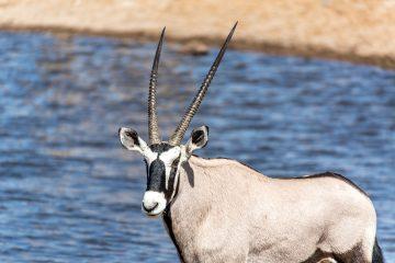 26.7. Chudob Waterhole - Oryx