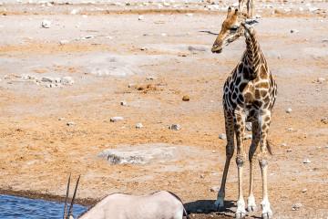 26.7. Chudob Waterhole - Giraffe, Oryx