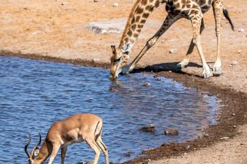 26.7. Chudob Waterhole - Giraffe, Impala