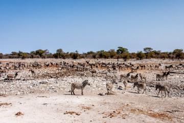 26.7. Kalkheuvel - Zebras