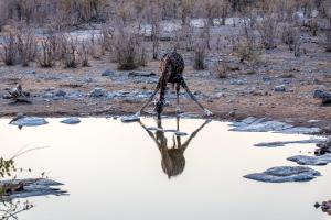 26.7. Moringa Waterhole, Halali - Giraffe