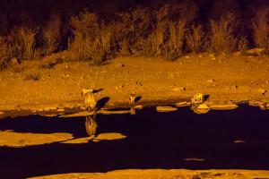 26.7. Moringa Waterhole, Halali - Schakale