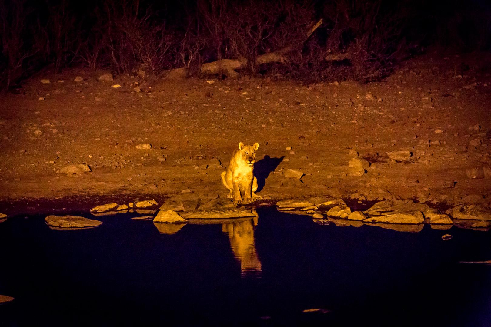 26.7. Moringa Waterhole, Halali - Löwen
