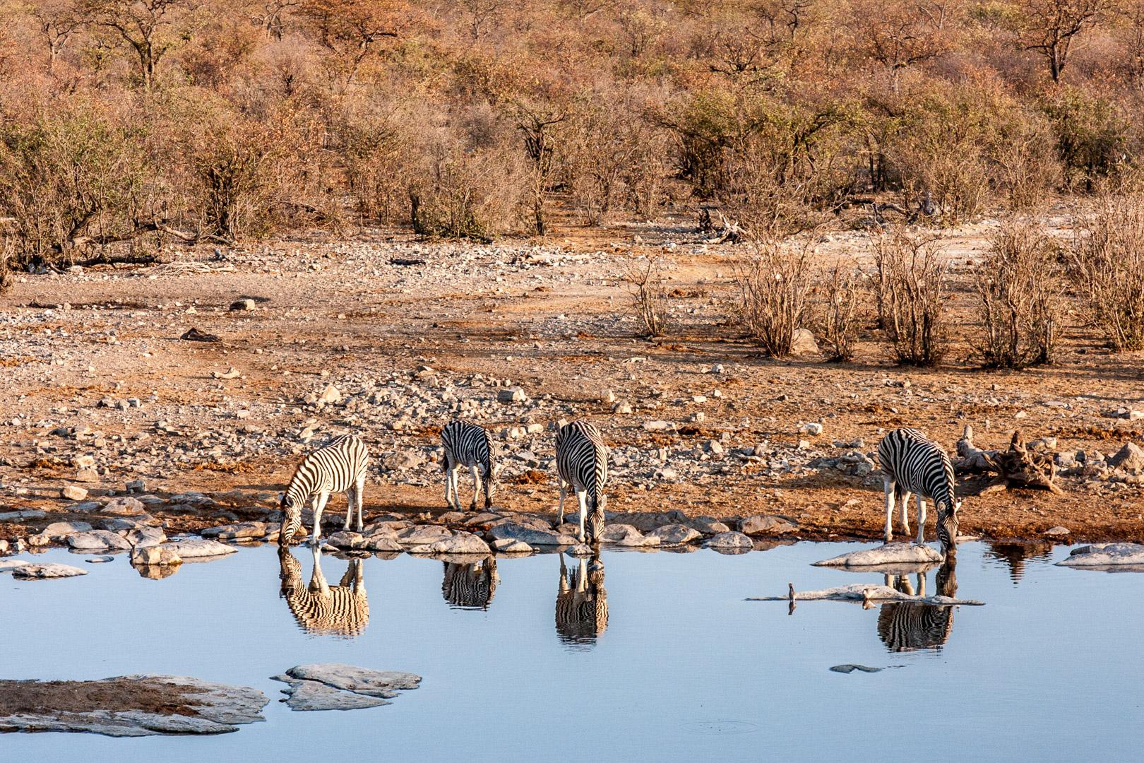 27.7. Moringa Waterhole, Halali - Zebras