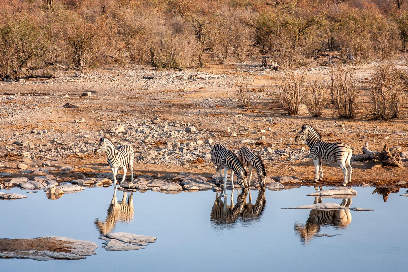 27.7. Moringa Waterhole, Halali - Der Löwe brüllt!