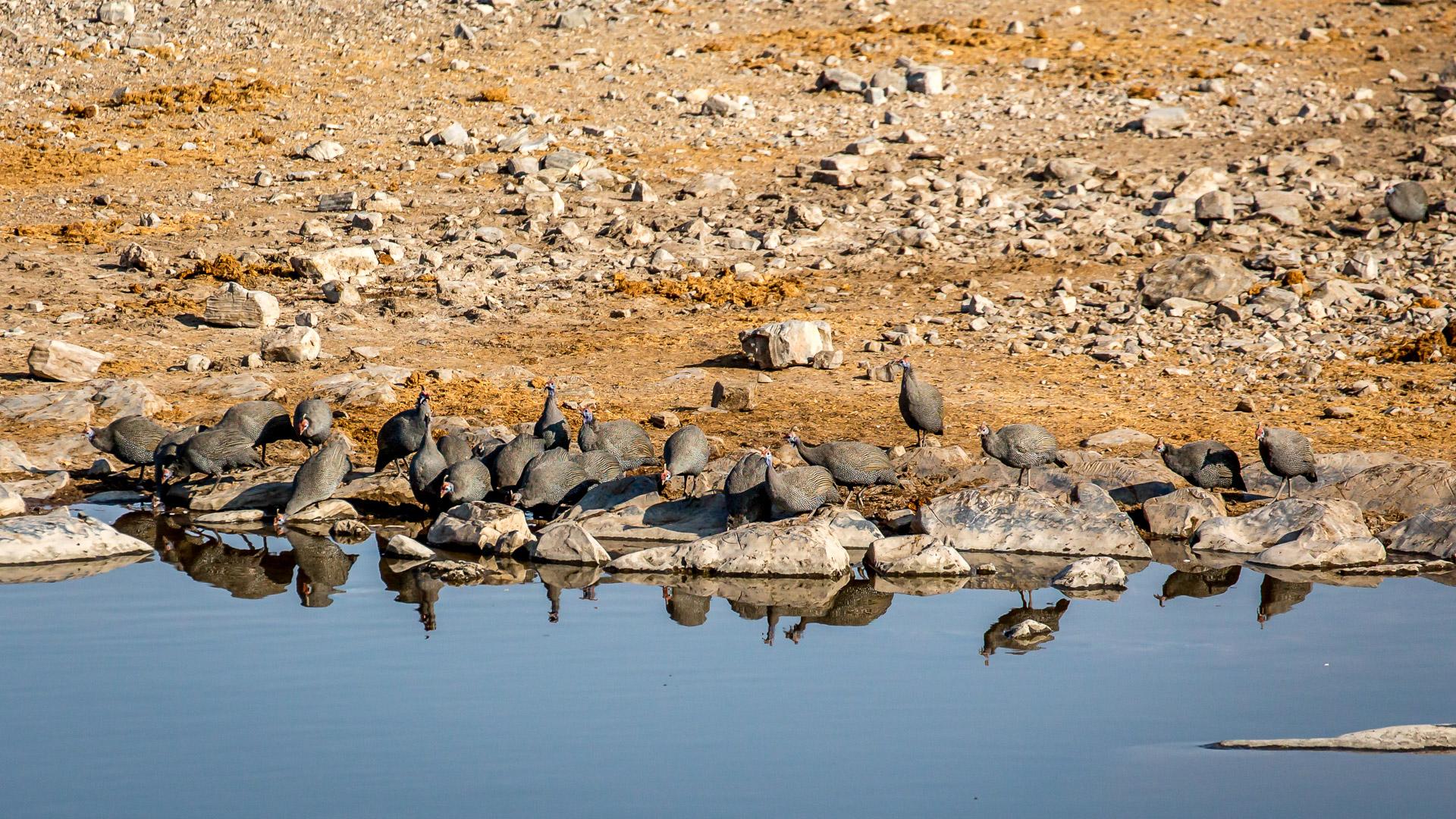 27.7. Moringa Waterhole, Halali - Guinea Fowls